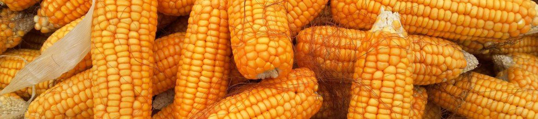 cropped-corn-1726017_1920.jpg